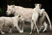 Постер, плакат: Female white lion with two newborn cubs The white lions are colour mutation of the Transvaal lion