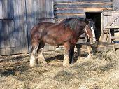 Work Horse By Barn