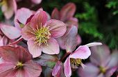 stock photo of helleborus  - Helleborus one of the first spring flowers in the garden - JPG