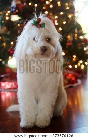 poster of Christmas Dog Portrait. A beautiful Maltese Mix dog poses for her Christmas Photos. Christmas Tree o
