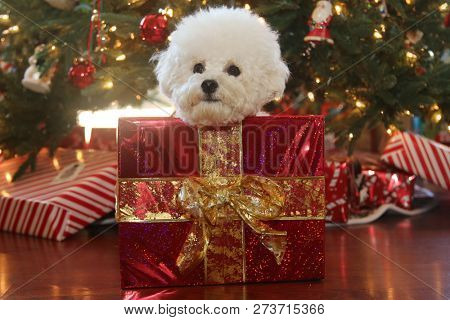 poster of Christmas Dog. A cute white dog sits in a Christmas Box with red wrapping paper and a gold bow. Chri