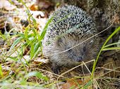 Face To Face Meet With A Hedgehog In The Forest. European Hedgehog (erinaceus Europaeus), Also Known poster