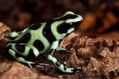 golden poison dart frog dendrobates auratus poisonous animal with bright warning colors lives in tropical rainforest of Panama