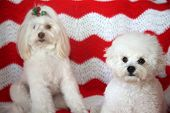 Christmas Dogs. Two Small White Dogs pose for portraits with a red and white comforter. Christmas Ph poster