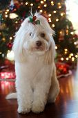 Christmas Dog Portrait. A beautiful Maltese Mix dog poses for her Christmas Photos. Christmas Tree o poster
