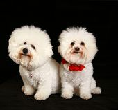 Jolie and Chloe both pure white breed Bichon Frise dogs, pose for their photos against a black velve