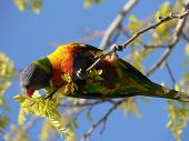 Hungry Lorikeet