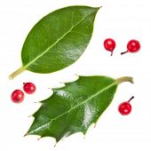 leaves of european holly ( Ilex aquifolium ) isolated on white