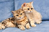Two Cute Golden British Kittens With Green Eyes Sit Together On A Blue Sofa, One Kitten Hugs The Oth poster