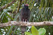 Costa Rican Turkey Vulture
