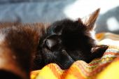 Chocolate Cat Sleeping On The Sofa. A Cat Relaxed And Stretched His Paw Close. A Chocolate Colored C poster