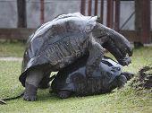 two big turtles having fun