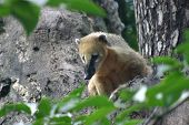 stock photo of coatimundi  - Adult coati on a tree in a german zoo