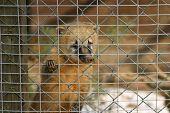 stock photo of coatimundi  - Young coati in a cage in a german zoo - JPG