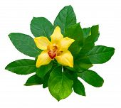 Yellow Orchid And Green Leaves On White Background