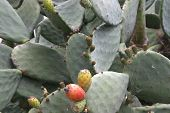 picture of peyote  - a close - JPG