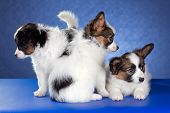 picture of epagneul  - Three Papillon Puppies on a blue background - JPG