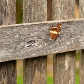 Autumn day australian butterfly on old wood fence background
