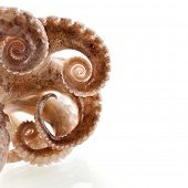 octopus border macro isolated on white background