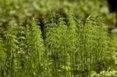 stock photo of horsetail  - cluster young plant horsetail on clearing in forest - JPG