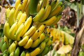 stock photo of banana tree  - banana fresh yellow fruit on tree at farmland - JPG