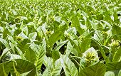 A Field Of Tobacco Plants In Flower