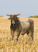 stock photo of bull-riding  - A large angry bull in a corn field - JPG