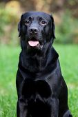 Black Labrador Retrieve
