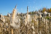 stock photo of cattail  - Autumn landscape. Cattails in the swamp. Flying cattail fluff.