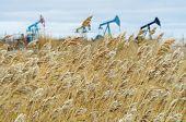 Reed near the oil fields.