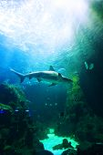 Shark underwater swimming over coral reef