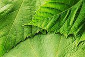 Close-up macro do folha verde fresco fundo