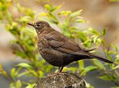 stock photo of brown thrush  - Blackbirds are ground feeders pulling worms and pecking at insects and berries at the bottom of hedgerows - JPG
