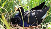 Pukeko & Chick on Nest