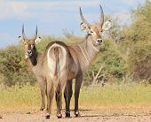 Wasserbock Stier Brüder - Rückblick nur einmal - Wildes Afrika