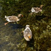 wild-gooses swimming in the pond in transparent water, wild nature