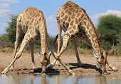 stock photo of camouflage  - Two adult Giraffes lean in to drink water on a game ranch in Namibia - JPG