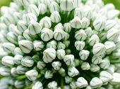 Knoblauch-Blume