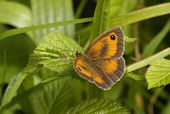 picture of gatekeeper  - Hedge Brown or Gatekeeper Butterfly - Maniola tithonus