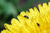 Beetle In A Dandelion Flower