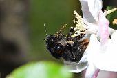 Black Bumblebee With Pollen