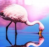stock photo of pink flamingos  - flamingo in Bolivia - JPG