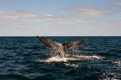 picture of whale-tail  - Full Whale - JPG
