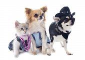 Birman Kitten And Chihuahuas