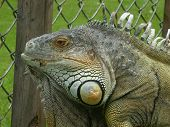 A Friendly Iguana
