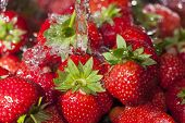 Harvest Fresh Strawberries Under Water Jet