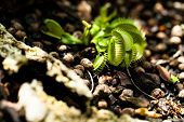 Cluster Of Venus Flytrap Plants