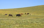 Cows In Spring Pasture