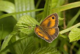 stock photo of gatekeeper  - Hedge Brown or Gatekeeper Butterfly - Maniola tithonus on Bramble leaf - JPG