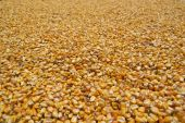 Corn seeds sundried